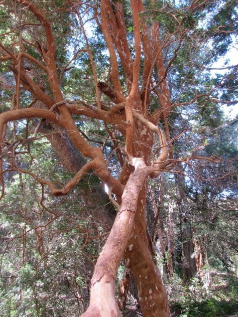 Myrtle trees